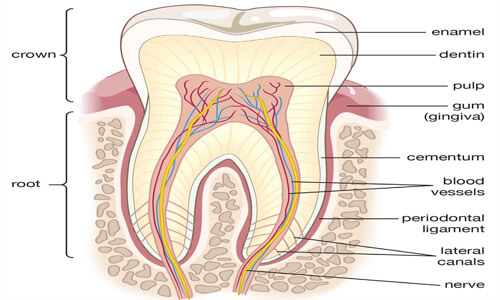 Illustration of a tooth showing the location of the periodontal ligament.  The illustration shows a cross-section of a tooth.